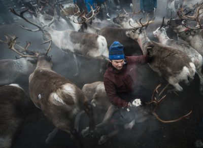 This file photo taken on October 27, 2016 shows a Sami man from the Vilhelmina Norra Sameby, catches a reindeer during a gathering of his reindeers herd for selection and calf labelling on October 27, 2016 near the village of Dikanaess, about 800 kilometers north-west of the capital